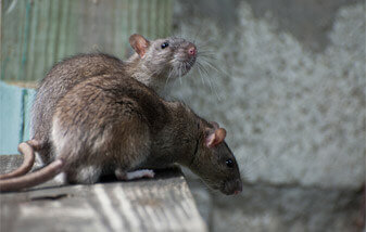 Rat-brown